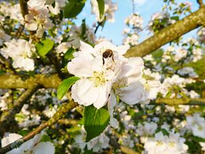 Apfelblüte-und-Hummel